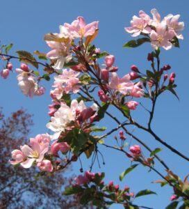 bloesem sierappelboom